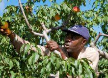 کمبود نیروی کار در صنعت کشاورزی